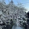 春の京さんぽ フランソア喫茶室と桜色に染まる高瀬川