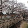 3月29日 高畑公園の桜