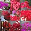 深紅の季節「のとキリシマツツジ」
