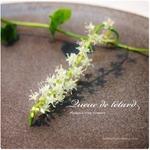 琉球百薬の白い花|Madeira vine Flowers