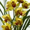 シンビジュームの花と・・・(2)
