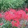 赤い彼岸花(曼殊沙華)と黒いフレコンバッグ/「ひるおび」スポンサーCM見合わせ/駿台シッカリ等アレコレ