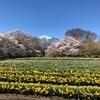 北杜市桜巡りレポート