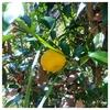 桃栗三年柿八年、、の続きは(^^)うちの庭のゆずの木、ついに実ができた(^^)ゆずの実ができるまでの年数は?