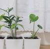 観葉植物初心者だから、100均でモンステラを買ってみました。