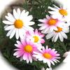 熊野神社の満開の桜&野菊さん宅のシャクナゲ&単眼複眼に五郎の菜の花の写真♪