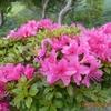 芒種 オオヤマレンゲの花ひらく祖母山