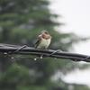 巣立ち後のツバメ雛3~電線から羽ばたく!