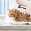 猫の早期避妊手術について ~実家の子猫が手術しました。