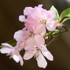 光則寺の花海棠