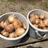 タマネギの収穫(兵庫県太子町に帰省しました)