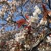 【お花見】代々木公園からお花見自粛要請?(2020/3/19 開花状況)