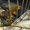はるまついぶき④~誘引したバラの芽のゆくえは?