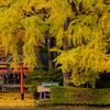 京都・小野 - 岩戸落葉神社の黄葉
