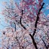 桜の花は狂い咲き