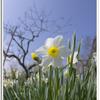 写真 春 水仙