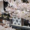 凱旋桜との茅部神社の桜