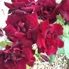 すっかりバラの魅力に取りつかれ♡庭の13本のバラに名前を付けてしまった♡