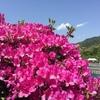蹴上浄水場の一般公開で「つつじ」の花を見る。京都・蹴上(けあげ)