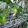 ミニトマト栽培記 結実