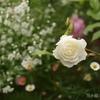 遅咲きバラの開花開始