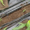 トウモロコシの余り苗とジャガイモの成長