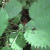 大山の触ると危険な植物(1)・・・・・ミヤマイラクサ