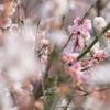 大倉山公園の梅林を撮ってみた