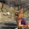 ポメちゃん 赤塚山公園で花見