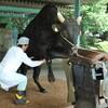 和牛のお話④-日本に牛として生まれてくると一頭も○○できずに死んでいく問題-
