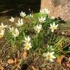 タマスダレの白い花