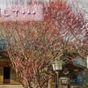 【埼玉】梅を探して埼玉県坂戸市を散歩してきました