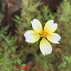 ウインターコスモスのヒデンス・イエローキューピットが今年は一段と小さな可愛い花を咲かせています