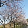 佐渡の桜もいよいよ咲き始めました〜