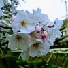 早番帰り、夕方の桜