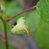 鷺草と綿のつぼみと朝顔の種