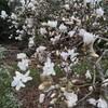 フワフワモフモフの蕾をロールするように、こじ開けて咲くコブシの春。