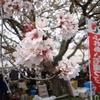 〈ひびき〉桜祭りに行ってきました