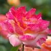 マクロレンズで薔薇を撮りました!