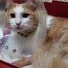 猫の3回目の手術の結果報告と今後の方針について