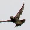 彼岸花の上空を飛ぶムクドリ