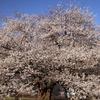 箱根・芦ノ湖 湖畔の一本桜訪問記(2017/4/29)