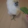 烏骨鶏プリンちゃん、産卵真っ盛り🐣