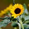 ひまわりの花と謎の数フィボナッチ数