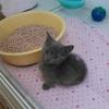 かわいい子猫のマンチカン!短足で単色(ブルー)の女の子を飼い始めました。