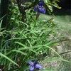 庭のアヤメ(花あやめ)