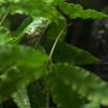 シュレーゲルアオガエル Rhacophorus schlegelii