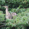 浮間公園の野鳥 ササゴイ・バン他 2021年7月11日
