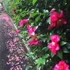 山茶花、山茶花 咲いた道 そして箱根「天山湯治郷」