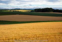 収穫間近、オホーツクの小麦畑
